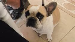 Canelle, chien Bouledogue français