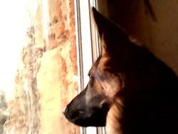 Canelle, chien Berger allemand