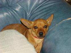Canelle, chien Pinscher autrichien à poil court