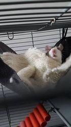 Canelle, rongeur Rat