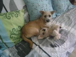 Canelle, chien Griffon fauve de Bretagne