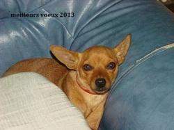 Canelle, chien Pinscher