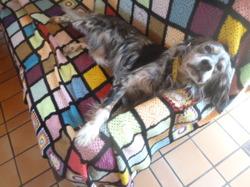 Canelle, chien Setter anglais