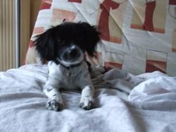 Canelle, chien Épagneul breton