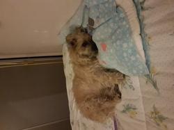 Canelle, chien Cairn Terrier