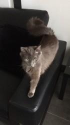 Canelle, chat Chartreux