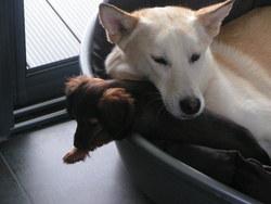 Canelle, chien Husky sibérien