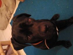 Canelo, chien Cane Corso