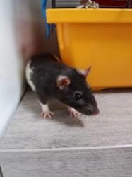 Canette, rongeur Rat