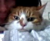 Cannèle, chat Européen