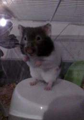 Cannele, rongeur Hamster