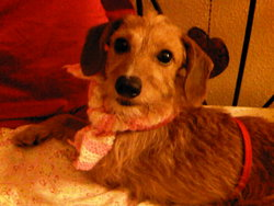 Cannelle, chien Teckel