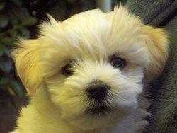 Cannelle, chien Bichon maltais