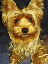 Cannelle, chien Yorkshire Terrier