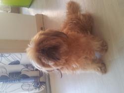 Cannelle, chien Shih Tzu