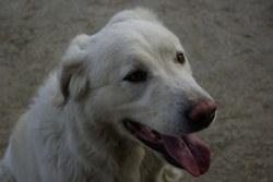 Cannelle, chien Berger de Maremme et des Abruzzes