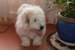 Cannelle, chien Coton de Tuléar