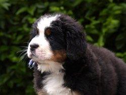 Cannelle, chien Bouvier bernois