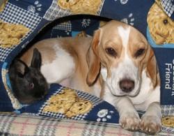 Canelle, chien Beagle