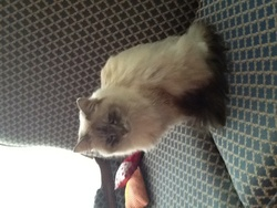 Cannelle, chat Birman