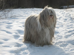 Cannelle , chien Bearded Collie