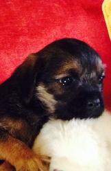 Cannelle, chien Border Terrier