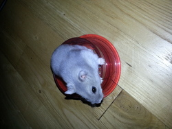 Cannelle, rongeur Hamster