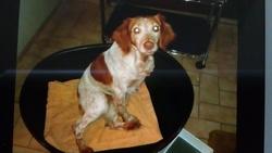 Cannelle, chien Épagneul breton