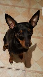 Cannelle, chien Pinscher