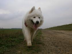 Cannelle, chien Samoyède