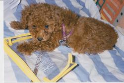 Cannelle, chien Caniche