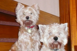 Cannelle, chien West Highland White Terrier