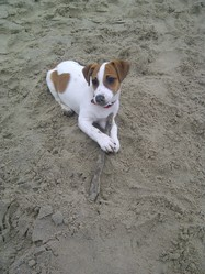 Cannelle, chien Jack Russell Terrier
