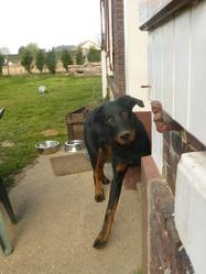 Canthus, chien Beauceron