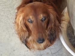 Canto, chien Teckel