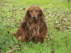 Canto , chien Teckel
