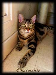 Caouêt, chat Gouttière