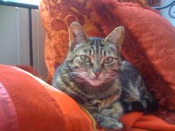 Caouette, chat Européen