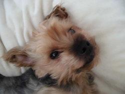 Cap'Tain, chien Yorkshire Terrier