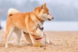 Capi, chien Shiba Inu