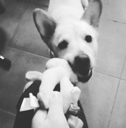 Capi, chien Jack Russell Terrier
