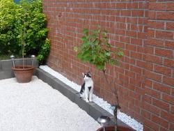 Capi, chat Européen