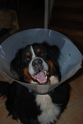 Capi, chien
