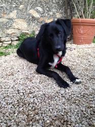 Capie, chien Labrador Retriever