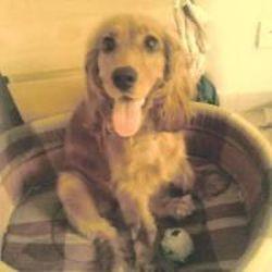 Capie, chien Cocker anglais