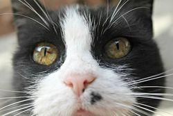 Capitaine Crochette, chat Gouttière