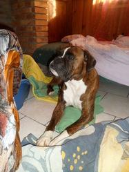 Capone, chien Boxer