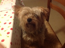 Capone, chien Yorkshire Terrier