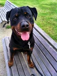 Capone, chien Rottweiler