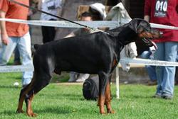 Capone, chien Dobermann